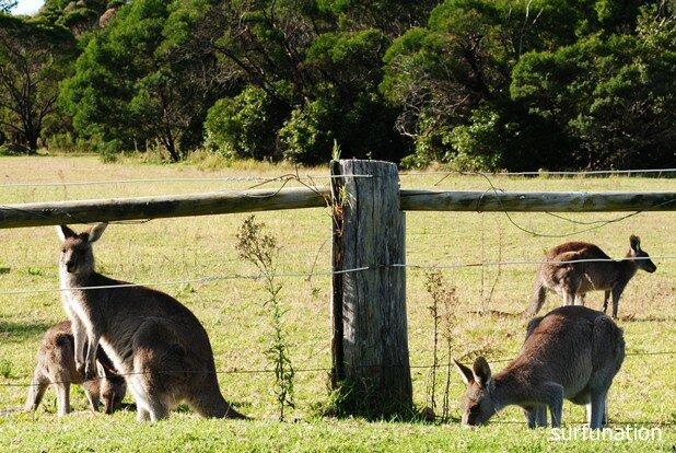 Pambula Kangaroos
